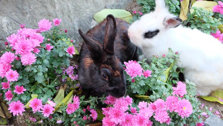Thỏ ở đào Nami